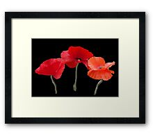 Beautiful red poppy flowers photo art in black background. Framed Print