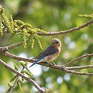 Bluebird by Bob Hardy