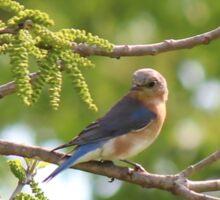 Bluebird Sticker