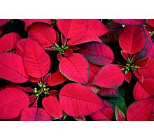 Red Poinsettias For Holiday Cheer Photographic Print