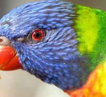 Wild parrot eye contact Sticker