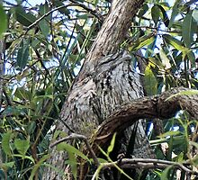 Tawny Frogmouth  by Margaret Stevens