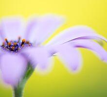 Dandy Daisy by Nicole Bechaz