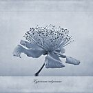 Hypericum calycinum Cyanotype by John Edwards