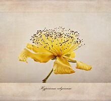 Hypericum calycinum by John Edwards