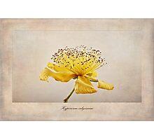 Hypericum calycinum Photographic Print