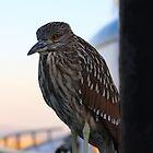 Juvenile Black-Crowned Night Heron by Laurie Puglia