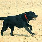 Black Labrador by Kawka