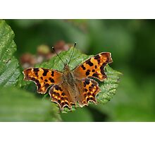 Comma Butterfly at Gwithian Nature Reserve in Cornwall Photographic Print