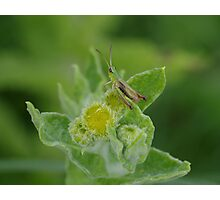 Grasshopper at Gwithian Nature Reserve in Cornwall.  Photographic Print