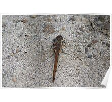 Common Darter Dragonfly resting on the sand at Gwithian Nature Reserve in Cornwall.  Poster