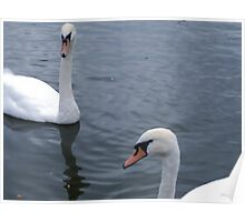 two white!! swan Poster