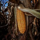 Corn by Steve Baird