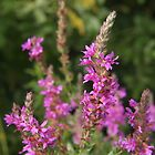 Purple Loosestrife by Linda  Makiej Photography