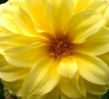 .Yellow Dahlia. Sticker