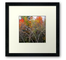 Bending Birches Framed Print