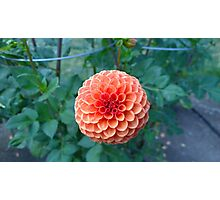 .Brilliant Dahlia. Photographic Print