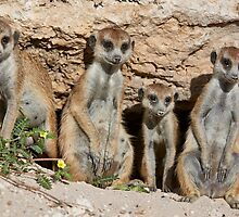 four funny meerkats by travel4pictures