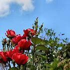 Summer roses by missmoneypenny