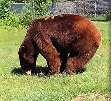 Cinnamon Black Bear by virginian