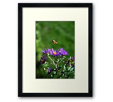 The bee and the Aster Framed Print
