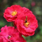 Rose Garden by jewelskings