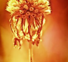 Golden Glow, flower photo by Donna Ridgway