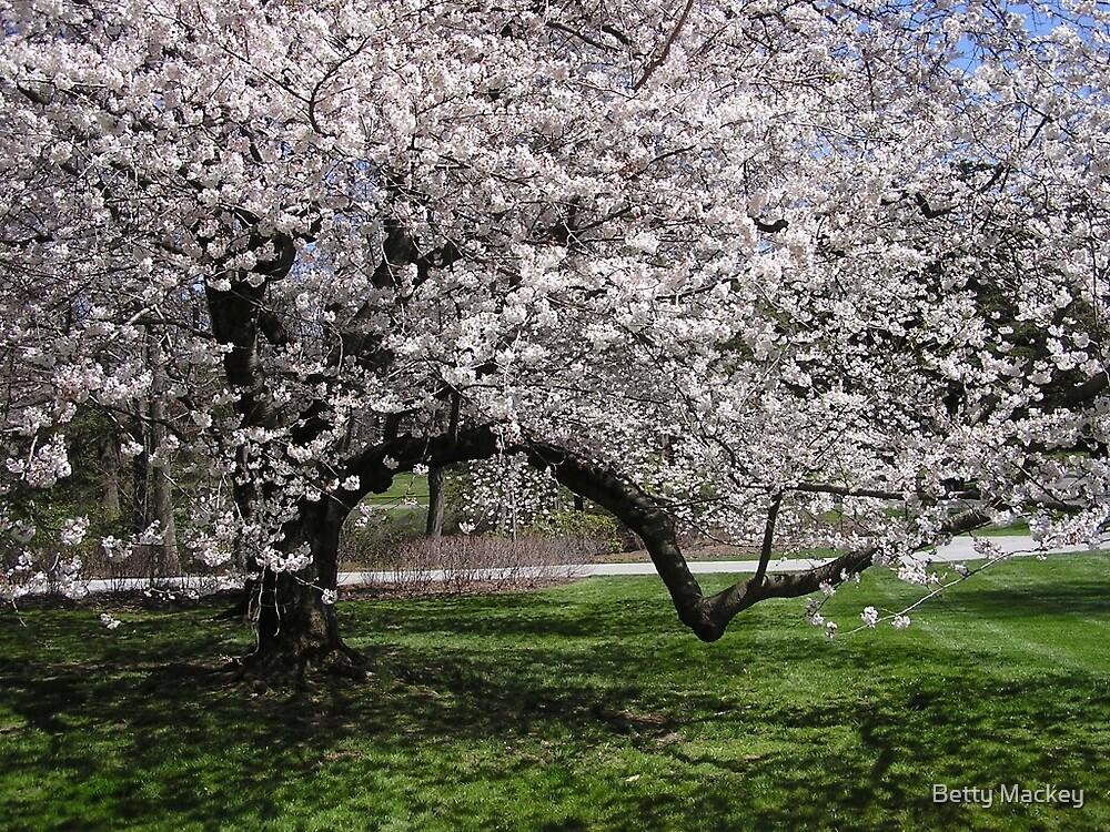 Cherry Tree in Flower by Betty Mackey