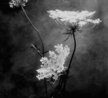 Queen Anne's Lace by LouiseK