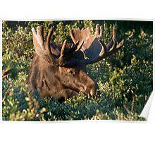 Grazing Moose Poster