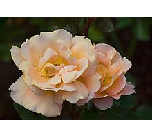 A Just Slightly Ragged Peach Coloured Rose Photographic Print