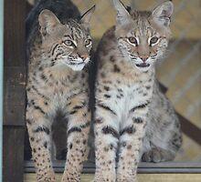Bobcats by Eaglelady