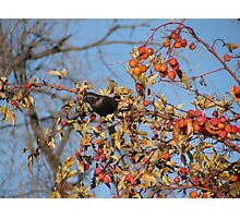 European Starling in Autumn Cherry Tree #2 Photographic Print