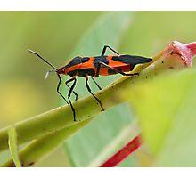 Milkweed Bug Photographic Print