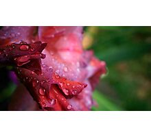 Water Droplets on Pink Gladiolus Petals Photographic Print