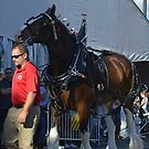 Clydesdale by Karen Checca
