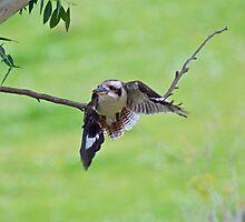 KINGFISHER ~ Kookaburra by David Irwin Photographic Print