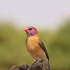Waxbill - Colorful Birds from Africa by LivingWild