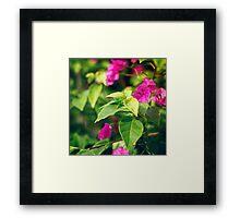 Bougainvillea flowers in a garden Framed Print
