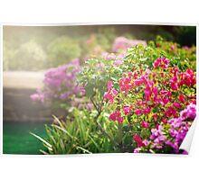 Bougainvillea flowers in a garden Poster