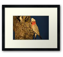 Morning Galahs - Kilcowera Station Framed Print