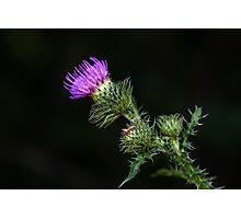 Purple prickly carduus Photographic Print