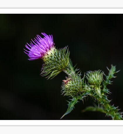 Purple prickly carduus Sticker