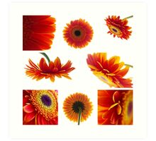 Set of orange gerbera flowers Art Print