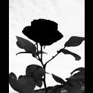 Rose in Repose by Michelle Munday