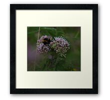 Bee on Hemp Agrimony Flowers at Gwithian Nature Reserve in Cornwall. Framed Print