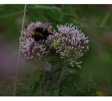 Bee on Hemp Agrimony Flowers at Gwithian Nature Reserve in Cornwall. Photographic Print