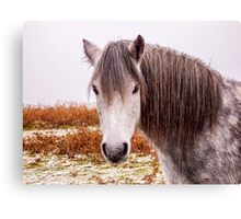 Dartmoor Pony Canvas Print