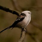 The long-tailed tit  (Aegithalos caudatus) - Cieszyn, Poland by KondzioK