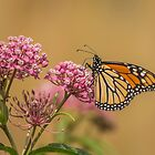Monarch On Swamp Milkweed by Thomas Young